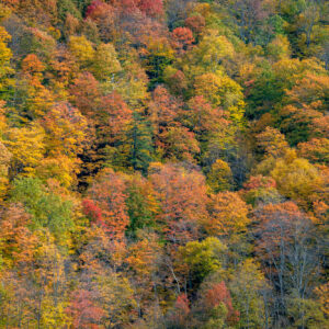 The Forest in Fall in Plymouth, Vermont