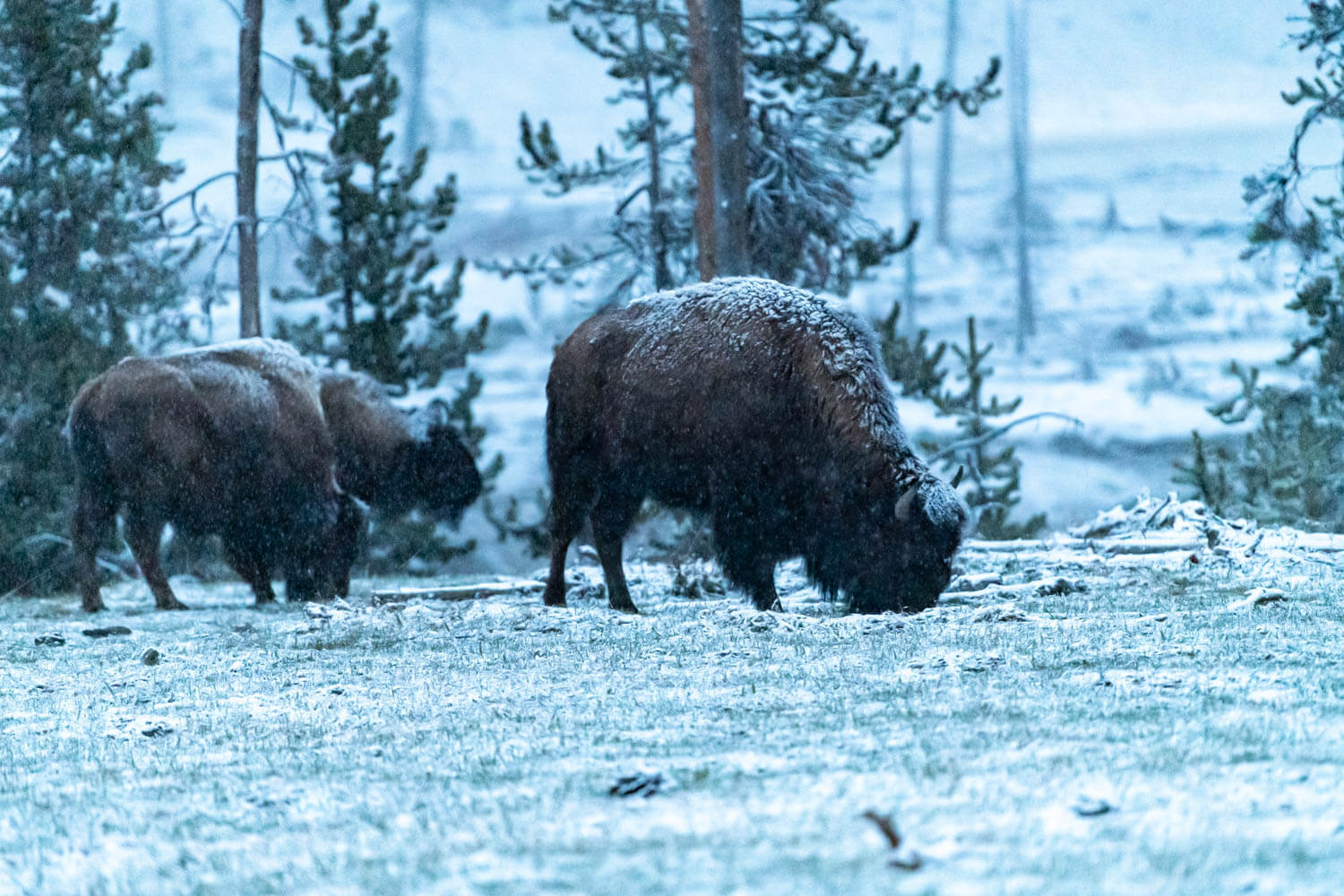 Bison grazing in the snow at Yellowstone National Park